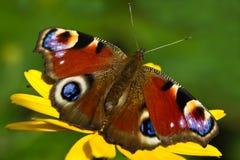 Mariposa o Inachis io del pavo real en verano Imagen de archivo libre de regalías