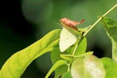 Mariposa ocultada que se sienta en las hojas, Costa Rica del amarillo del camuflaje Fotos de archivo libres de regalías