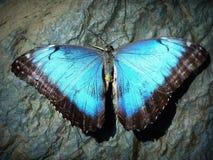 Mariposa oscilante Fotografía de archivo