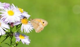Mariposa oscura de Brown del prado en crisantemo salvaje Foto de archivo libre de regalías