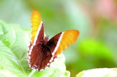mariposa Oxidado-inclinada de la página en la hoja en pajarera Imagen de archivo
