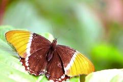 mariposa Oxidado-inclinada de la página en pajarera Fotografía de archivo