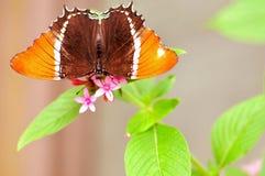 mariposa Oxidado-inclinada de la paginación Foto de archivo