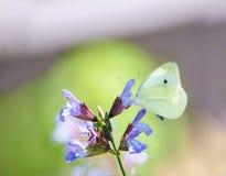 Mariposa pálida bonita en la flor púrpura de la lavanda fotografía de archivo libre de regalías