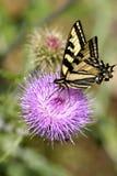 Mariposa pálida de Swallowtail Fotos de archivo