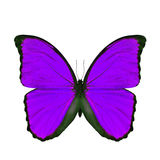 Mariposa púrpura exótica aislada en el fondo blanco Imagen de archivo libre de regalías