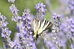 Mariposa Papilio Machaon en la flor de la lavanda fotos de archivo