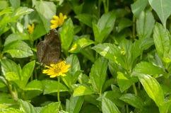 Mariposa pardusca Imagen de archivo libre de regalías