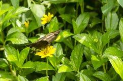 Mariposa pardusca Foto de archivo libre de regalías