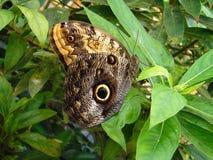 Mariposa - pavo real Imagenes de archivo