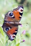 Mariposa - pavo real, Inachis Io Imagen de archivo libre de regalías