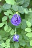 Mariposa Pea Flower Fotos de archivo