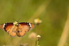 Mariposa pelada del tigre cara a cara fotos de archivo libres de regalías