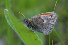 Mariposa - pequeño brezo (pamphilus de Coenonympha) Fotografía de archivo libre de regalías