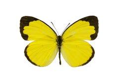 Mariposa, pequeño Hierba-amarillo, smilax de Eurema Imagenes de archivo