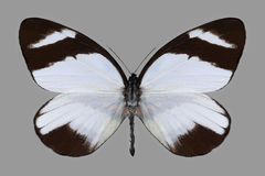 Mariposa Perrhybris Lorena Imagen de archivo