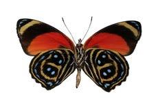 Mariposa peruana colorida, aislada contra el fondo blanco imagen de archivo libre de regalías