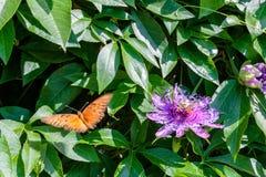 Mariposa pintada americana de la señora imágenes de archivo libres de regalías