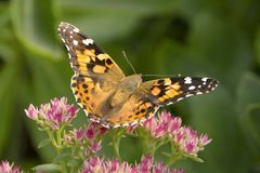 mariposa pintada de la señora Fotografía de archivo libre de regalías