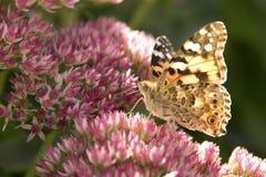mariposa pintada de la señora Foto de archivo libre de regalías