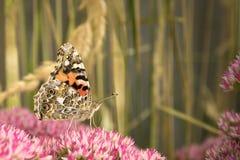 mariposa pintada de la señora Fotografía de archivo
