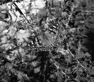 mariposa pintada de la señora imagenes de archivo