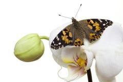 Mariposa pintada de la señora con las alas abiertas Imagen de archivo