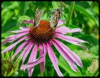 Mariposa pintada dos de la señora en un coneflower imagenes de archivo