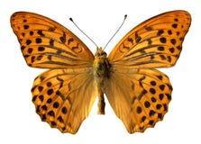 Mariposa plata-lavada aislada Fotografía de archivo libre de regalías