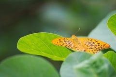 mariposa Plata-lavada del fritillary Fotos de archivo