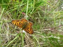 mariposa Plata-lavada del fritillary Fotografía de archivo libre de regalías