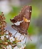 Mariposa Plata-Manchada del capitán Fotografía de archivo libre de regalías