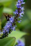mariposa Plata-manchada del capitán en Pickerelweed Imagenes de archivo