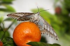 Mariposa, podadoras Fotografía de archivo libre de regalías