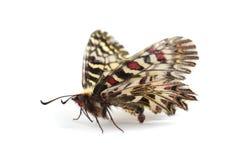 Mariposa - polyxena meridional de Zerynthia del adorno aislado en wh Fotos de archivo