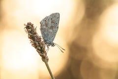 Mariposa por la mañana Sun fotos de archivo libres de regalías