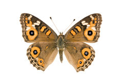 Mariposa - prado Argus, villida de Junonia Foto de archivo