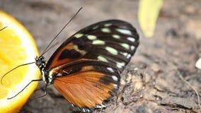 Mariposa que alimenta con el zumo de naranja almacen de metraje de vídeo