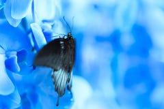 Mariposa que alimenta en órquico azul Fondo azul suave Fotografía de archivo libre de regalías