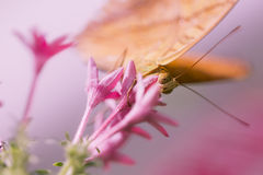 Mariposa que alimenta en la flor rosada Imagen de archivo libre de regalías