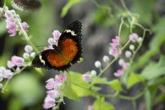 Mariposa que alimenta en la flor rosada Foto de archivo libre de regalías
