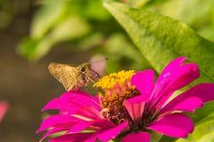 Mariposa que alimenta en la flor rosada de la paja foto de archivo