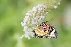 Mariposa que alimenta en las flores blancas Fotos de archivo libres de regalías