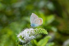 Mariposa que alimenta en una flor de la menta Imagenes de archivo