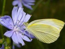 Mariposa que aspira el jugo Imagen de archivo