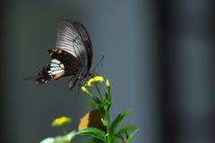Mariposa que chupa el néctar imágenes de archivo libres de regalías