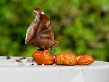 Mariposa que come una guayaba Foto de archivo libre de regalías