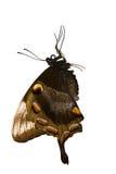 Mariposa que cuelga de un objeto Imagen de archivo