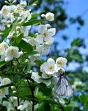 Mariposa que desayuna Fotos de archivo libres de regalías