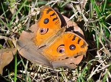 Mariposa que descansa sobre la licencia del árbol Foto de archivo libre de regalías